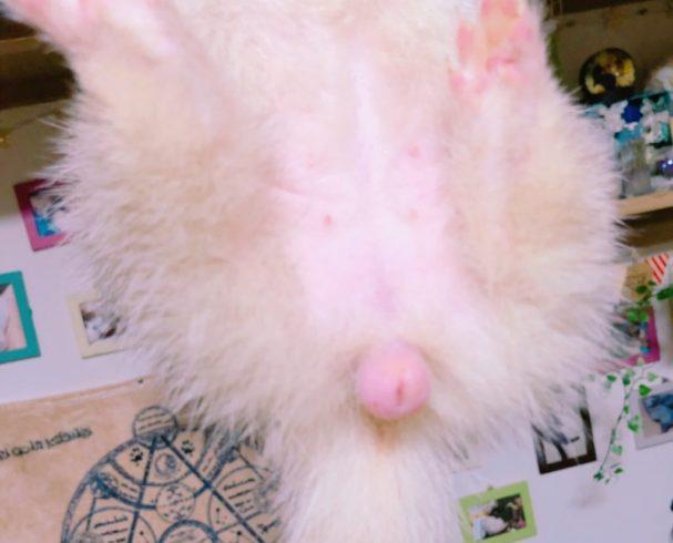 副腎腫瘍で腫れたメスのフェレットの外陰部