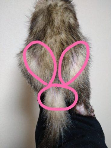 副腎疾患による左右対称の脱毛